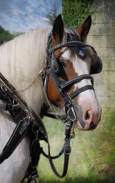 Equine - Pandora the draft horse harnessed.
