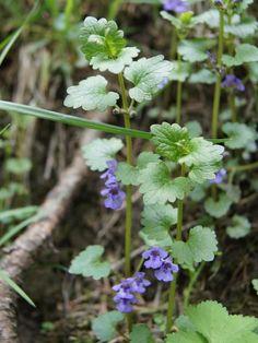 bluszczyk kurdybanek Spices, Herbs, Nutella, Health, Garden, Nature, Plants, Paintings, Spice