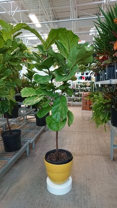The Beauty Of A Fiddle Leaf Fig Beautiful Fiddle Leaf Fig Kent Plants regarding [keyword Fiddle Leaf Fig Tree, Soil Layers, Self Watering Planter, Colorful Plants, Office Plants, Plant Wall, Nature Decor, Live Plants, Art Of Living