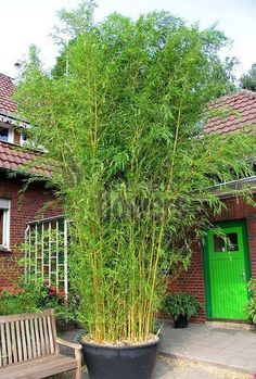 Golden Bamboo, Fairy Land, Gardening Tips, Garden Design, Projects To Try, Outdoor Structures, Flowers, Plants, House