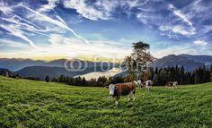 #Lake #Millstatt #Herd Of #Cows #Sunset @fotolia @fotoliaDE #fotolia #ktr14 #nature #landscape #austria #stock #photo #new #download #portfolio #photo #hires