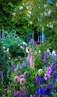 A Dutch garden with: delphinium, allium, lupine, anchusa azurea, pimpernel (sanguisorba officinalis), and cistus