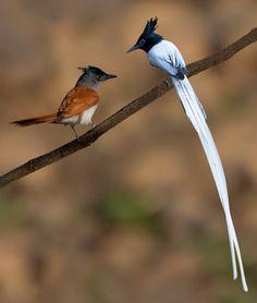 asian paradise flycatchers (photo by subhash ambawane)