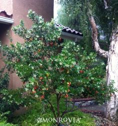 Dwarf Strawberry Tree (Arbutus unedo 'Compacta) is a great evergreen shrub/tree offering interest all season long with beautiful flowers, edible fruit, evergreen leaves and colorful bark. Strawberry Tree grows feet tall and wide. Full sun or part shade.