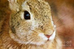 Bunny Eyes On Canvas Photograph  - Bunny Eyes On Canvas Fine Art Print