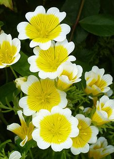 Douglas Meadowfoam & Poached Egg Plant (Limnanthes douglasii)