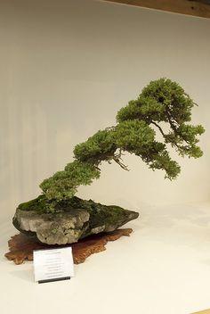 Slanting Bonsai | Flickr