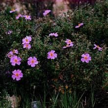 Κίστος (Λαδανιά) Cistus albidus  Θάμνος αειθαλής, ύψους 1-1,5μ. Τυπικό φυτό της μεσογειακής χλωρίδας. Φύλλα αρωματικά με γλαυκές ανταύγειες. Άνθη σε διάφορες αποχρώσεις του ροζ. Προτιμά ήπια κλίματα. Κατάλληλο για μπορντούρες και και κεκλιμένες επιφάνειες.