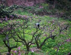 Google Image Result for http://us.123rf.com/400wm/400/400/billperry/billperry0806/billperry080600018/3125409-chinese-peasant-working-in-orchard-with-flowers-peach-tree-village-chengdu-sichuan-china-spring.jpg