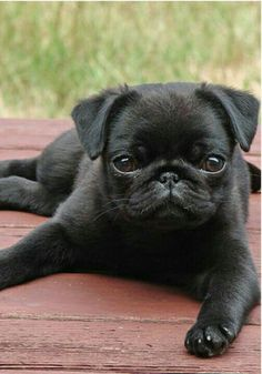 Callie's black pug, Intarsia, when she was a puppy.