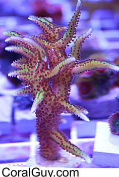 CoralGuy.com...Check Out Our Ebay Auctions...WYSIWYG Tubb's Purple Polyp Birdsnest SPS Coral Frag...Aquacultured