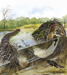 Beaver Beaver Dam (artwork by Jan Sovak). Reading 'Feral' by Monbiot and learning the important impact the Beaver has on it's environment to the benefit of other animal species and also to the ecosystem. Beaver Lodge, Beaver Dam, Beaver Facts, All Nature, Science Nature, North American Beaver, Le Castor, Nature, Earth Science