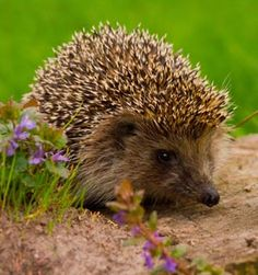 Slug pellets can poison hedgehogs, so try other methods to control them first like beer traps and copper tape
