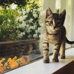 Pretty flowers pretty kitty. #ibkc #ittybittykittycommittee #fosterkitten #tabby #kitten #kittensofinstagram #thepatmorefour by theittybittykittycommittee