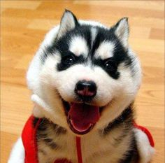Husky This is my life. #Cute