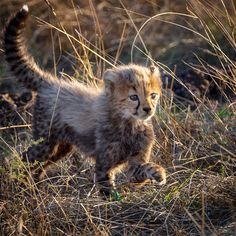 The future generation. one of the five cheetah cubs we saw back in November at the beautiful . I heard that Rosetta and her… Fluffy Animals, Baby Animals, Cute Animals, Wild Animals, Big Cats, Cute Cats, Cheetah Cubs, Cheetahs, Maine Coon Cats