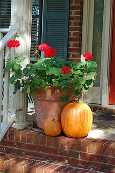 Red geraniums and tall pumpkins on a sunny brick frontstep..perfect atmosphere!