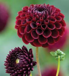 An incredible collection of 8 dahlias exclusively put together by Sarah, for wonderful colours in the garden,and if you keep picking them, each tuber will give you hundreds of flowers to arrange like this in the house.