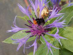 Another bee at Gardening Express enjoying Centaurea Montana.