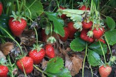 McGrath Family Farm - Organic U-Pick Strawberries - Camarillo, CA.