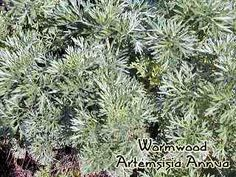 Wormwood contains Artemisinin which seeks out and destroys breast cancer cells, leaving healthy cells unharmed. Artemisia Annua, Breast Cancer, Remedies, Herbs, Natural, Plants, Home Remedies, Herb, Plant