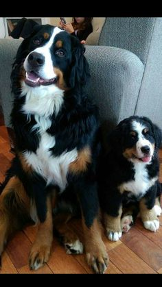 An older photo of when me and my family got our second Bernese mountain dog. Our older one was so happy that day. follow @GalaxyCase to see more cutest animals kids .... and learn way to make #uniqe #personalized #Samsung #Galaxy S4/S5/S6 Note 4/5 Case Cover