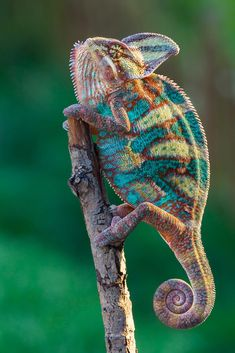 I thought this was a super cool knitted chameleon done in sock yarn! It is really a beautiful photo of a real chameleon, but it gave me the fun idea of knitting one up! Beautiful Creatures, Animals Beautiful, Nature Animals, Animals And Pets, Cute Animals, Wild Animals, Baby Animals, Reptiles Et Amphibiens, Mammals
