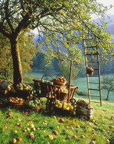 Apple pickin---love this. In another couple years, this will be a familiar sight on our farm!! YEAH!!