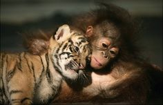 Dema, a 26-day-old endangered Sumatran Tiger cub cuddles up to 5-month-old female Orangutan, Irma at the 'Taman Safari Indonesia' Animal Hospital in West Java, Indonesia.