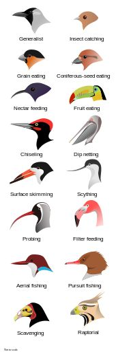 Comparison of Bird Beaks - displaying different shapes for different feeding methods