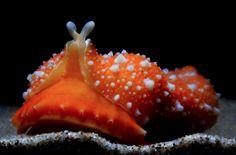 New Week Nudibranch: Armina maculata