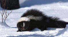 Winter Musk Striped Skunk, Opossum, Parcs, Domestic Cat, Chipmunks, Otters, Panda Bear, Big Cats, Beautiful Creatures
