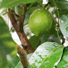 green on my daily life and tagged diet, fruits, gardening, green, green lemon, health, lemon, matchaatnoon, nature, on my daily life, rain, tree