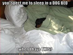 Funny Dachshund Pictures with Captions | ... dachshund - Page 41 - Loldogs n Cute Puppies - funny dog pictures