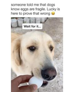 """💥Develop your dog's """"hidden intelligence"""" To eliminate bad behavior and create the obedient, well-behaved pet of your dreams 🧠🐶 DISCOVER HOW 🧠🐶👇 Funny Animal Jokes, Funny Dog Memes, Funny Dog Videos, Funny Animal Pictures, Animal Memes, Cute Funny Dogs, Cute Funny Animals, Cute Dogs And Puppies, Doggies"""
