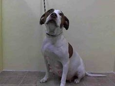 SUPER URGENT 12/29/13 Manhattan Center   GUCCI - ID#A0988399 ***** PREGNANT ******  FEMALE, WHITE / BROWN, PIT BULL MIX, 3 yrs  SEIZED - EVALUATE, NO HOLD Reason OWN ARREST  Intake condition PREGNANT Intake Date 12/28/2013, From NY 11413, DueOut Date 12/31/2013, I came in with Group/Litter #1 https://www.facebook.com/photo.php?fbid=732850700061145&set=a.617942388218644.1073741870.152876678058553&type=3&theater