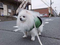 . . #fun#likes#pet#love#japan#daily#tokyo#dogstagram#dog#DoggytheWorld#pomeranian#pomeranianworld#dogoftheday#photography#犬#日常#ポメラニアン#愛犬#ペット#11歳#ふーちゃん#포메라니안#일본#도쿄#좋아요#애견#데일리룩#일상#개스타그램