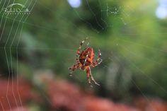 Argiope Spider on her web
