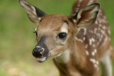 baby deer, cutest face I have ever seen!