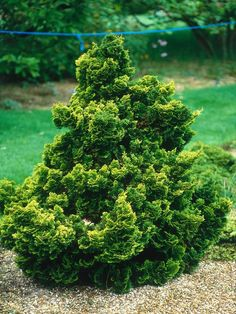 Hinoki cypress, Chamaecyparis obtusa 'Opaal', is a dwarf conifer reaching 3 ft (1 m) high and 30 in(75 cm) wide