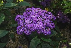 The Garden Heliotrope (Heliotropium arborescens) is a highly fragrant perennial plant, originally from Peru. Description from imgarcade.com. I searched for this on bing.com/images