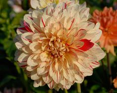Kunterbunt (#197) Classification: Dekorative Dahlien Color: cremegelb, purpur gesprenkelt Height: circa 130 cm Blossom size: 10 cm - 15 cm Foto / Copyright: Hans Auinger