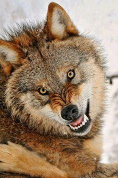 Funny Wildlife — funnywildlife: Wolf Gnashers, Grrrr, back off! Vida Animal, Mundo Animal, Wolf Spirit, Spirit Animal, Wolf Pictures, Animal Pictures, Beautiful Creatures, Animals Beautiful, Tier Wolf