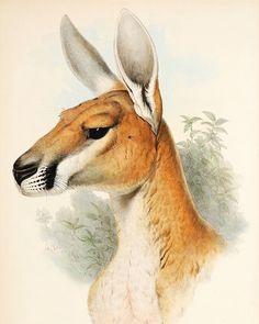 "166 Likes, 5 Comments - Antique Print & Map Room (@antiqueprintmaproom) on Instagram: ""'Osphranter Rufus' Artist: John Gould (1804 - 1881 Date: 1845 (1863)  The iconic Kangaroo original…"""