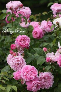 David Austin rose Mary Rose in our garden in Moenchhagen near Rostock Rose Garden Design, Pink Garden, Dream Garden, Love Rose, Pretty Flowers, Lavender Roses, Pink Roses, Austin Rosen, Ronsard Rose