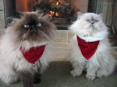 My kittys, Sam Snoodle and Kacy Blue!