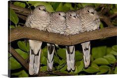 Scaled Dove - Piaui State,  Brazil