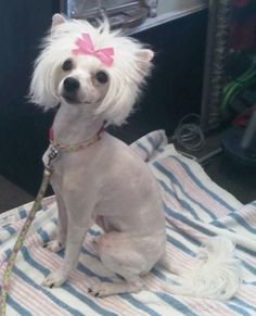 chinese crested powder puff hair cuts - Google Search