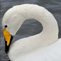 animalgazing:    Whooper Swan (cygnus cygnus) by midlander1231 on Flickr.