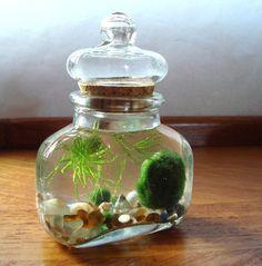 Live Marimo Balls in Glass Top Spice Jar Bottle Zen by MyZen